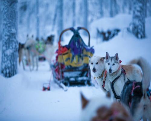 Expedición en trineo de Huskies por Laponia